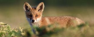 propagation maladie de Lyme renards